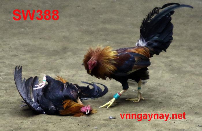 Đá gà trực tiếp Sw388